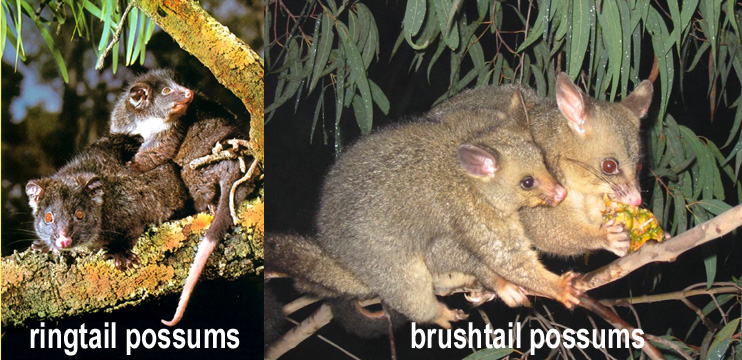 photo of ringtail and brushtail Australian possums